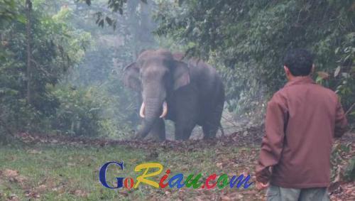 Usir Gajah Liar di Pinggir, Warga Balairaja Rogoh Kocek Hingga Jutaan Rupiah