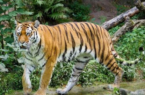 Sudah Tiga Hari Berturut-turut, 2 Ekor Harimau Masuk Pemukiman Warga di Pelangiran Inhil