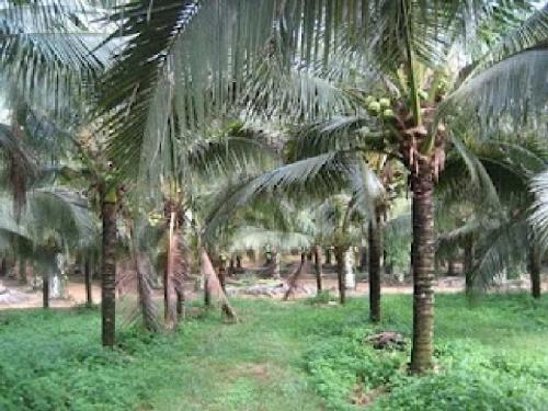 Menurut Banggar DPRD Inhil, Ini Penyebab Gagalnya Penyelamatan Kebun Kelapa Petani