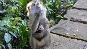 Bayi Usia 2 Minggu Diculik Monyet, Begini Kondisinya Saat Ditemukan Sehari Kemudian