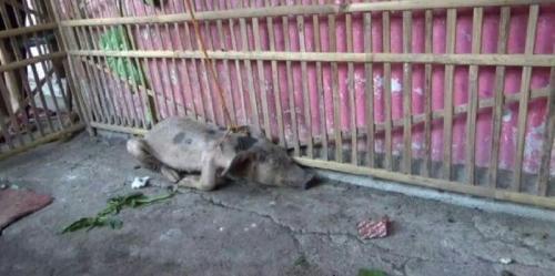 Kepergok Masuk Rumah, Babi Ngepet Ditangkap Warga, Ini Penampakannya