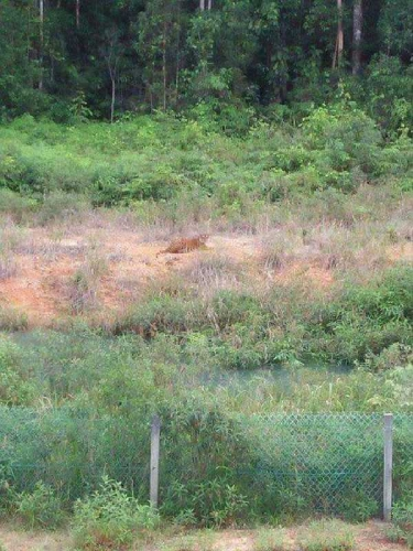 Sering Karhutla, 3 Harimau Muncul di Kubu dan Kubu Darussalam Rohil