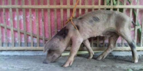 Misteri Pemilik Babi Ngepet di Solo Akhirnya Terungkap