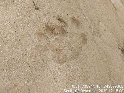 Beredar Info Harimau Sumatera Berkeliaran di Perumahan Warga Pekanbaru, Ini Kata BBKSDA Riau