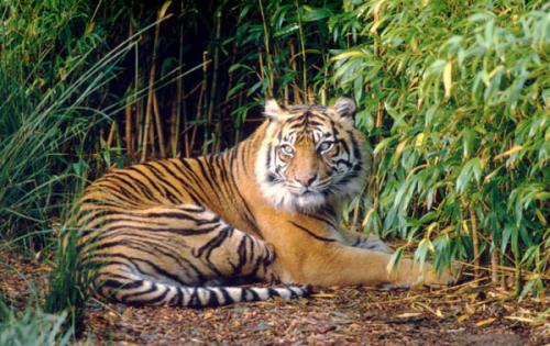 BBKSDA Riau Turunkan Tim ke Lokasi Warga Bengkalis Diterkam Harimau Sumatera