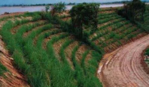 Sering Longsor, Riau Paling Cocok Tanam Vetiver karena Akarnya Bisa Masuk ke Kedalaman 3 Meter