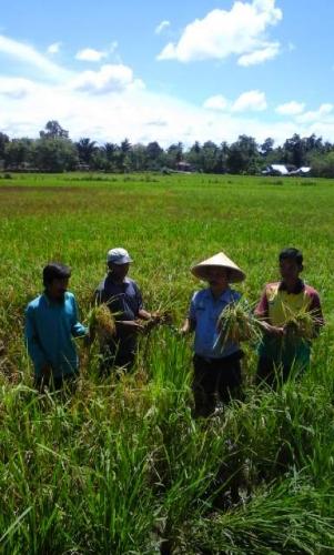 Mantap, Produksi Padi Salibu di Kuansing Capai 4,6 Ton per Hektare