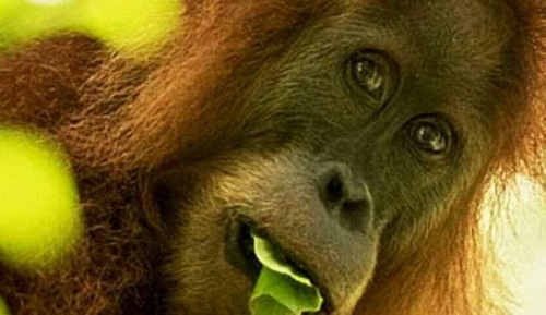 Spesies Baru Orangutan Ditemukan di Batang Toru, Berbulu Tebal dan Keriting