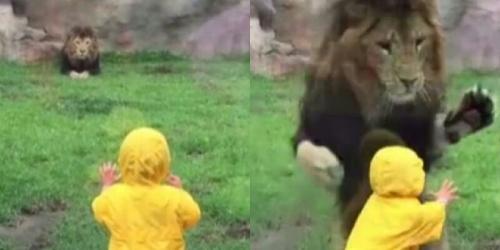 Mengerikan, Singa Seberat 185 Kilogram Berusaha Menerkam Bocah 2 Tahun, Beruntung . . . .