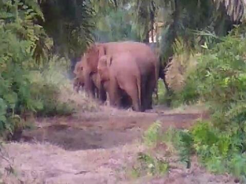 BBKSDA Riau Dibantu Warga Halau 11 Gajah Liar di Tapung Kampar