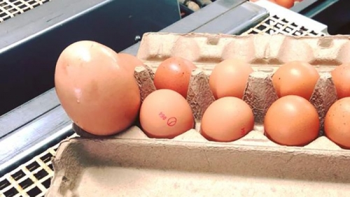 Telur Ayam Raksasa Seberat 176 Gram Bingungkan Ahli Unggas, Ini Penampakannya