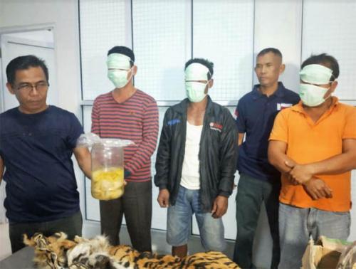 Tim Gabungan KLHK Tangkap Lima Pelaku Penjualan Organ Harimau Sumatera