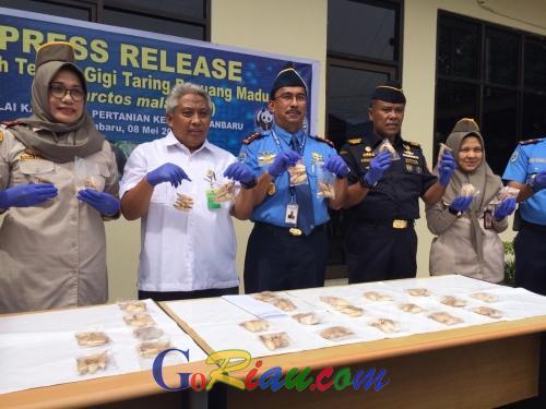 BBKSDA Riau Terima 156 dari 172 Gigi Taring Beruang Madu Hasil Sitaan di Cargo Bandara SSK II Pekanbaru