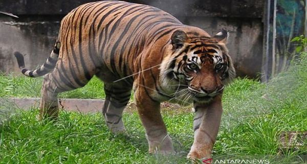 Harimau Sumatera Masuki Kampung Teluk Lanus Siak