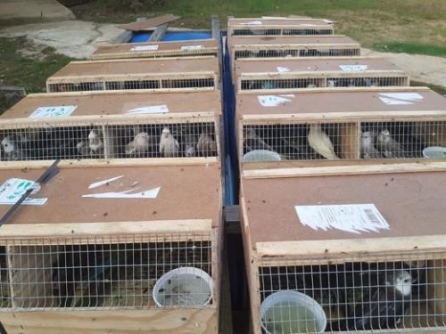 Polres Inhil Amankan 141 Ekor Burung Kakak Tua yang Dibawa dari Batam
