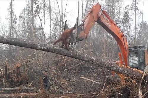 Orangutan Kalimantan Hadang Buldozer Pembalak Hutan, Begini Penampakannya