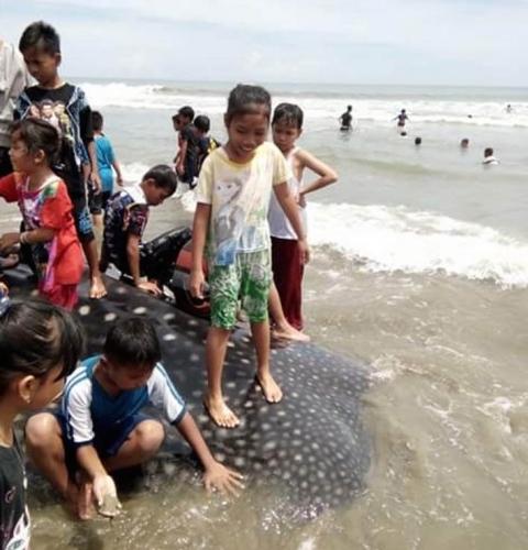 Wow... Hiu Raksasa Terdampar di Pantai, Beratnya Lebih 5 Ton, Anak-anak sampai Naik di Atasnya