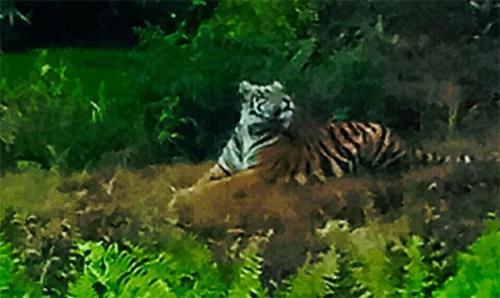 Tiga Harimau Sumatera Manampak Diri di Siak