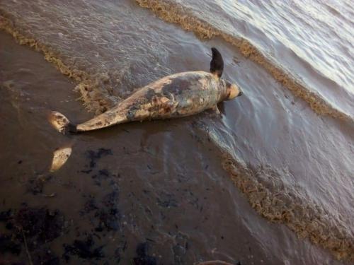 Dugong yang Ditemukan di Dumai Diduga Terbawa Arus Selat Malaka