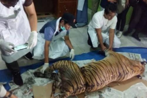 Jerat Harimau Sumatera, Warga Kuansing Dituntut Penjara 4 Tahun 6 Bulan