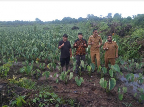 Tertarik Cara Bercocok Keladi Tumbuk di Lahan Gambut, Camat Lubuk Siak Belajar Kunjungi Sinaboi Rohil