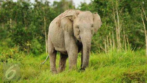 Tiga Ekor Gajah Diusir Warga dengan Petasan