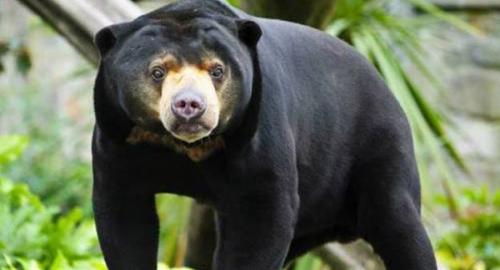 Akibat Asap, Beruang Muncul di Rokan Hilir