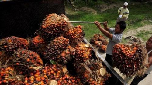 Naik Berturut-turut, Harga TBS Kelapa Sawit di Riau Pekan Ini Sentuh Rp1.682,20 per Kg
