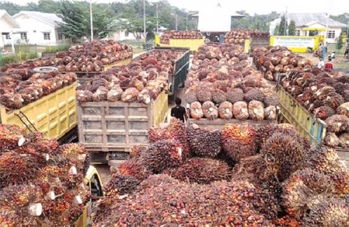 Pekan Ini, Harga TBS Sawit di Riau Naik Rp66,41 per Kilogram