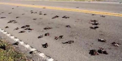 Ratusan Burung Jalak Mendadak Jatuh dari Angkasa dan Mati di Jalanan
