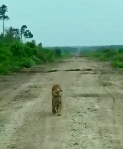 42 Hari Perburuan Belum Berhasil, BBKSDA Riau Akhirnya Datangkan Pawang Harimau dari Aceh