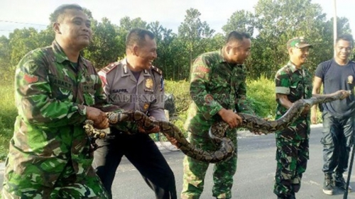 Sambil Tertawa, Personel TNI dan Polri Taklukkan Ular Besar, Lihat Nih Fotonya...