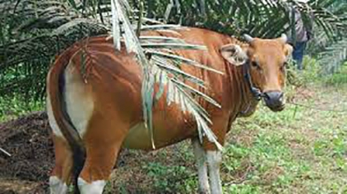 Selalu Kekurangan Daging, Bengkalis Tetapkan Sapi Induk Wajib Bunting