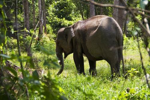 Dua Gajah Terlatih Diturunkankan untuk Menghalau Gajah Liar yang Injak-injak Tukiya di Pinggir Bengkalis