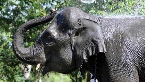 Lagi Nyadap Karet, Warga Muara Basung Pinggir Tewas Diinjak-injak Gajah Liar