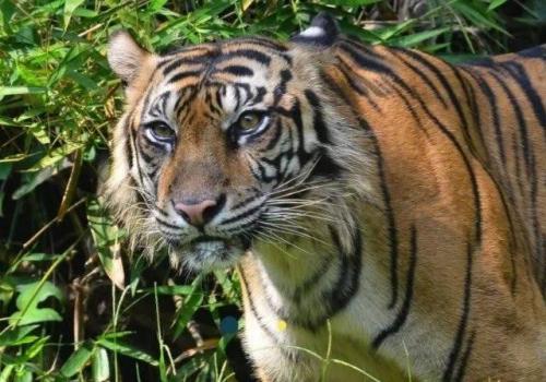 Diterkam Harimau Sumatera Saat Menggiling Kopi, Mustadi Tewas Mengenaskan
