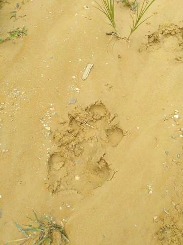 BBKSDA Klarifikasi Jejak yang Ditemukan Warga Kulim, Ternyata Bukan Jejak Harimau