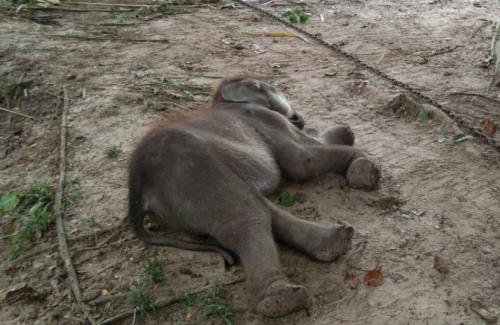 Diselamatkan dari Jerat, Gajah Muda Puan Pandan Wangi Mati Akibat Gangguan Pencernaan