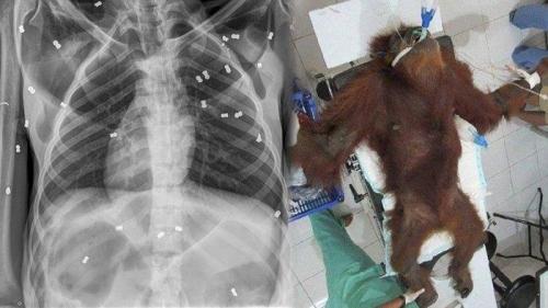 Orangutan dan Bayinya Disiksa Secara Keji di Aceh, 74 Peluru Bersarang di Tubuh dan Matanya