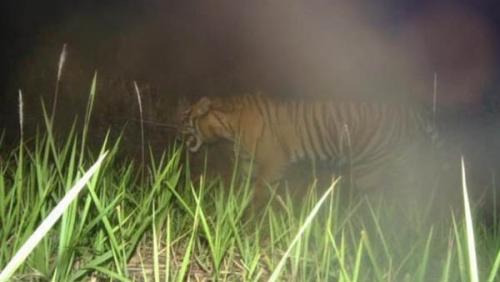 Cari Harimau Sumatera, BBKSDA Riau Pasang Kamera Trap