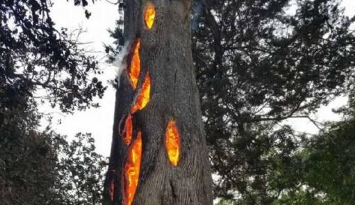 Ajaib, Api Membara dalam Batang Pohon Besar di Hutan California Utara, Ini Penampakannya