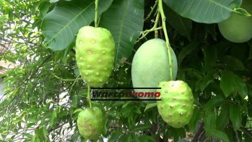 Ajaib, Pohon Mangga Berbuah Mengkudu di Probolinggo, Ini Penampakannya