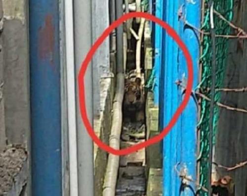 Sampai Siang Ini, BBKSDA Riau Masih Berusaha Evakuasi Harimau yang Masuk Pasar Pulau Burung Inhil