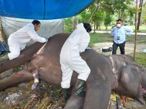 Radang Pencernaan Kronis, Gajah Sumatera di Kasang Kulim Mati