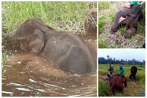 Kena Jerat Babi di Sungai Mandau, Kaki Bayi Gajah Terluka dan Nyaris Putus