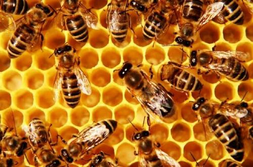 Madu Lebah Bisa Muluskan dan Kilaukan Wajah, Begini Cara Menggunakannya
