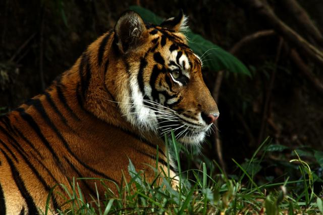 Harimau Terkam 2 Kerbau Siang Hari di Pemukiman Warga di Agam