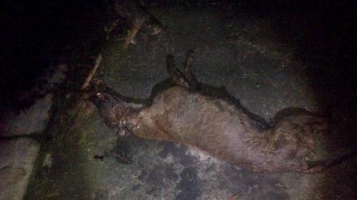 Berhasil Ditembak Mati, Ternyata Ini Wujud Makhluk Misterius yang Mencabik-cabik Perut 11 Domba pada Malam Hari di Sleman