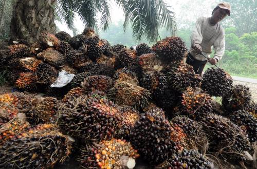 TBS Kelapa Sawit di Riau Jatuh di Harga Rp1.815,16 per Kg