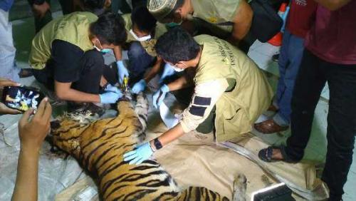 Harimau Sumatera Ditemukan Mati Terkena Jerat Pemburu di Siak